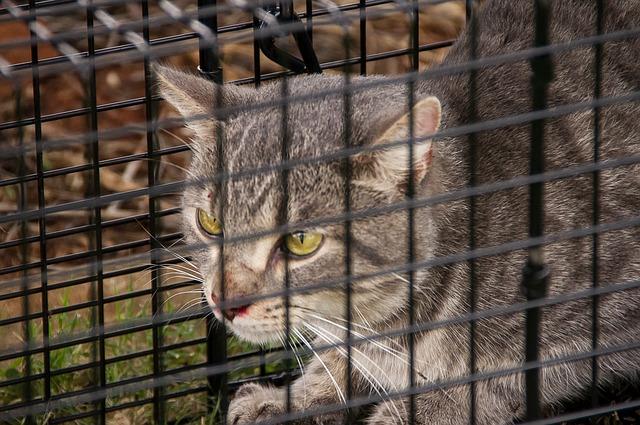 Utiliser une trappe pour capturer un chat errant en toute sécurité